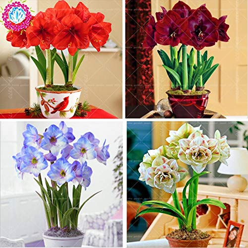 Plants Indoor Flowers Bulbs Lily 100pcs/bag True Amaryllis Not Bulbs Bonsai Flower,Hippeastrum for Home&Garden Barbados Lily Flower Pot (Mix Color)