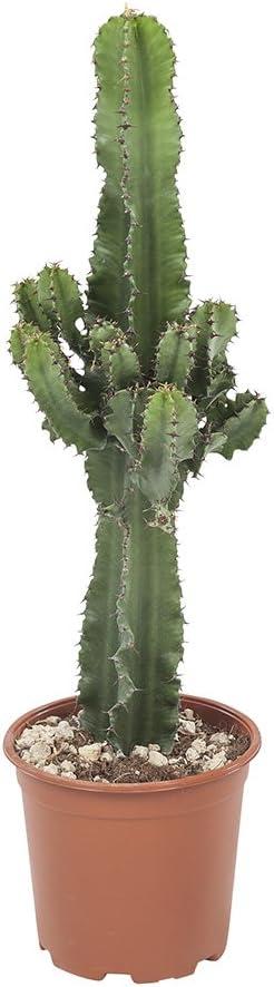Cactus y suculento de Botanicly – Euphorbia ingens – Altura: 70 cm