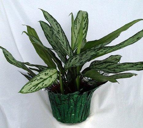 Silver Queen Plant - Aglaonema - 6'' Pot/Decorative Pot Cover unique from jm bamboo