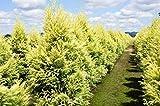 Dryopteris filix-mas Barnesii - Barne's Male Fern 3 Plants in 9cm Pots