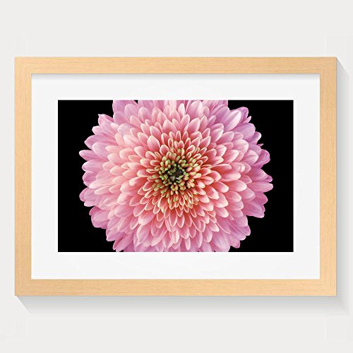 ZhiqianDF New Style Pink Red Purple Flower Chrysanthemum Garden Flower Black Isolated Framed Wall Art - Pink Floyd Earrings