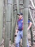 Japanese Timber Bamboo Plant Rhizome