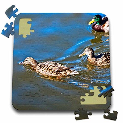 3dRose Alexis Photography - Birds - Three male and female mallard ducks swim in a calm water - 10x10 Inch Puzzle (pzl_285816_2) ()
