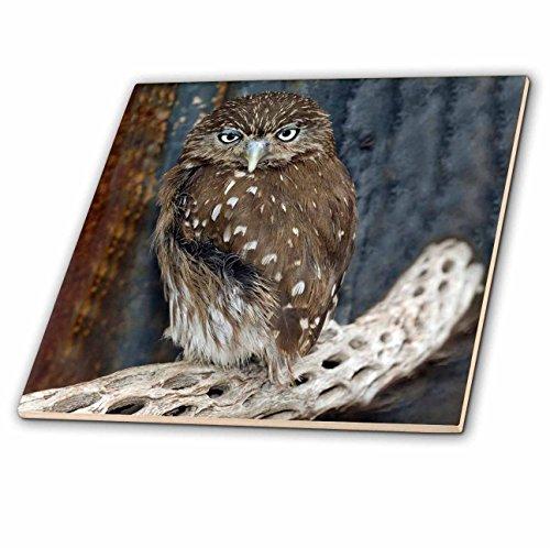 3Drose Ct 87770 3 Ferruginious Pygmy Owl Us03 Bfr0131 Bernard Friel Ceramic Tile  8 Inch