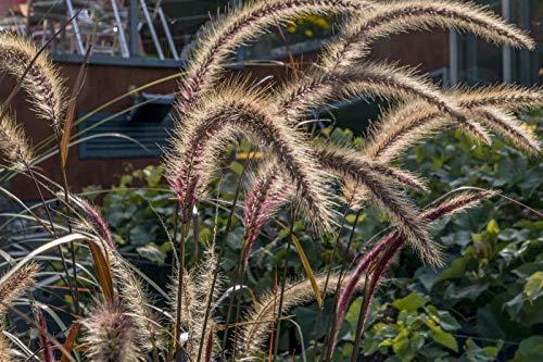Black Fountain Grass 100 Seeds, Ornamental Grass, PENNISETUM, Hardy prennial