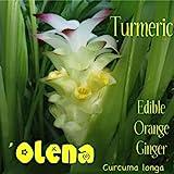 LIVE 5 TURMERIC Rhizomes Curcuma longa Edible Orange Ginger ~Canoe Plant~ 'OLENA