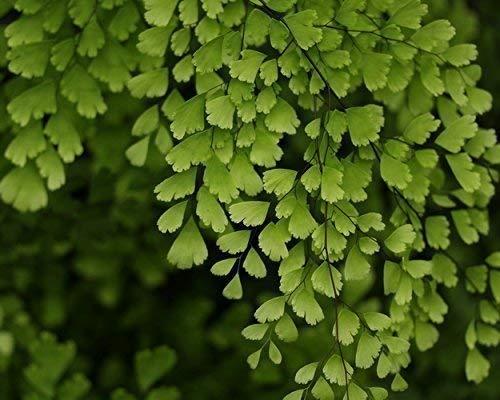 Maidenhair Fern Botanical Print - Floral Wall Art - Green and Black Home Decor - Nature Photography -