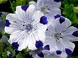 Nemophila maculata | Baby Blue Eyes | Fivespot | 50_Seeds