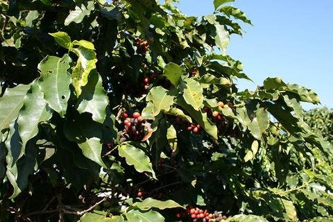 5LBS Guatemala Huehuetenango Ixban Unroasted Green Coffee Beans