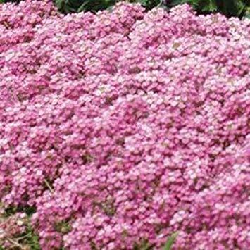 PlenTree Fresh 1000 Seeds - Alyssum Deep Pink Ground Cover Seeds