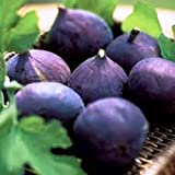 how to grow a little fruit tree - Fig Trees