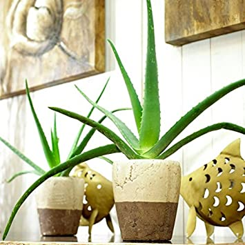Special Deal Aloe Vera Succulent Plant In A Classic White