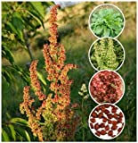 100 Organic Curly/Yellow Dock Seeds ~ Rumex crispus