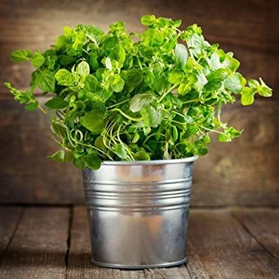 "Heirloom Organic""Oregano Set"" Italian & Greek 100 Seeds by AchmadAnam : Garden & Outdoor"