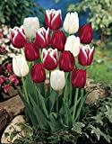 Candy Cane Mix Tulip 20 Bulbs - Red & White - 12/+ cm Bulbs