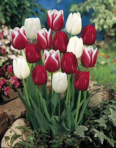 Candy Cane Mix Tulip 20 Bulbs - Red & White - 12/+ cm Bulbs