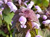 Home Comforts Canvas Print Nettle Blossom Nettle with Blossom Dead Nettle Stretched Canvas 32 x 24