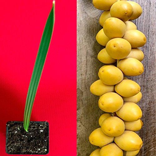 Date Palm Phoenix Dactylifera Tree Seedling Starter Plant ()