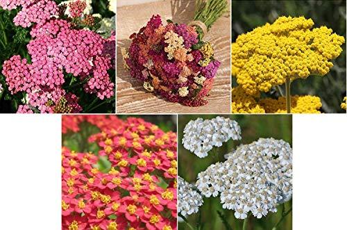 David's Garden Seeds Collection Set Flower Achillea Yarrow Open Pollinated 7337SV (Multi) 5 Varieties 2000 Seeds (Non-GMO, Open Pollinated) (Seeds Yarrow)