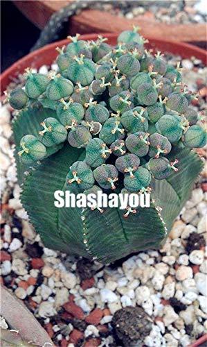 50Pcs /Bag Real Mini Euphorbia Obesa Flores, Mixed Cactus Succulents Seeds Perennial Seeds,Seeds for Home Garden : 4