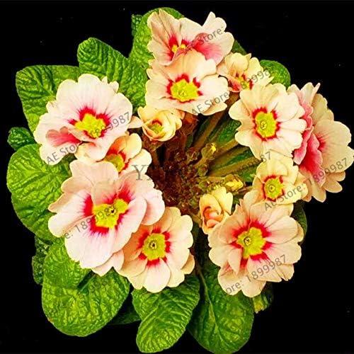 Color múltiple, Europa Primrose Flores, Primula Malacoides Flores ...