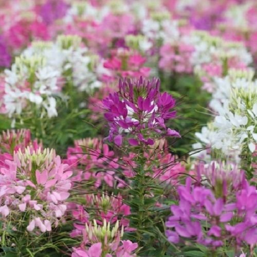 Flower Seeds/Deer Resistant/Fragrant/ Tall/Hardy ()