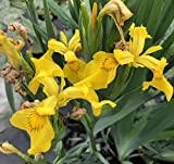 Yellow Flag Iris Seeds,100 PCS-Majestic Iris Pseudacorus Pond Plant Seeds,Home Garden Flower Decoration Seeds,DIY Pot Flower Seeds Potted,Easy to Live