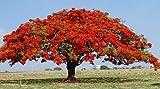 Exotic Plants Delonix regia - flame tree - flamboyant - 5 seeds
