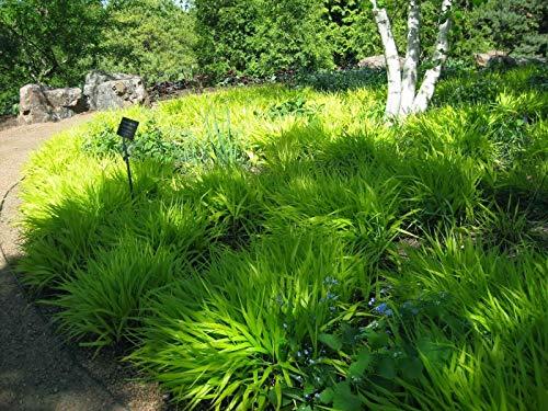 - HAKONECHLOA MACRA 'All Gold' - Japanese Forest Grass - Starter Plant