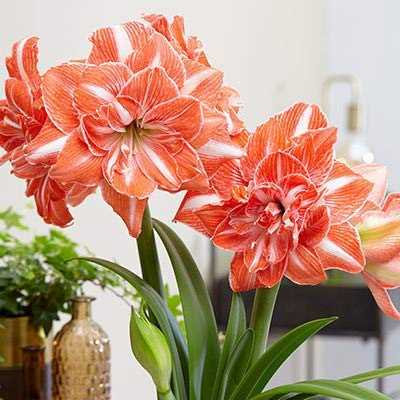 Double Amaryllis 2Bulbs- Double Flower - Large Bulb Hippeastrum, Barbados Lily, Amaryllis Flower Amaryllis Bulbs : Garden & Outdoor