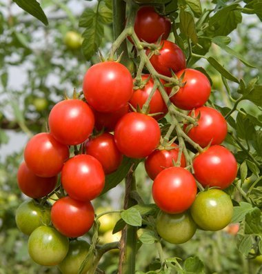 David's Garden Seeds Tomato Cherry Sakura (Red) 25 Organic Hybrid Seeds