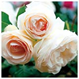 White Eden Climbing Rose Bush Reblooming White Hardy Climber Plant Grown Organic 4'' Potted - Easy To Grow Own Root