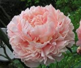 YoYoBoo 2016 New Heirloom Purely Pink Salmon Peony Tree