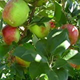 HONEYCRISP apple tree sweet & tart 10 seeds by Tropical Oasis