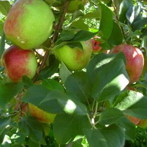 Crisp Tart Apples - HONEYCRISP apple tree sweet & tart 10 seeds by Tropical Oasis