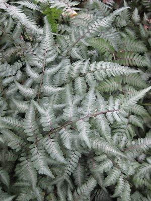 Risala Athyrium niponicum Silver Falls Japanese Painted Fern Plant in 9 cm Pot