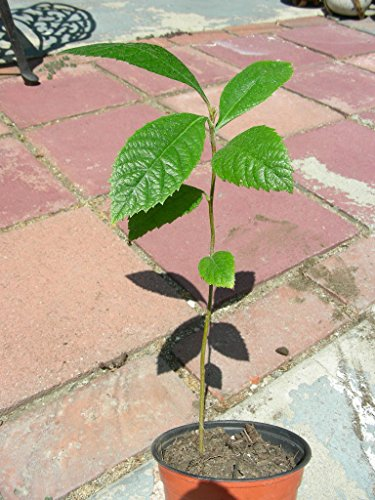 Japanese Plum LOQUAT FRUIT TREE Seedling Plant Succulent Sweet