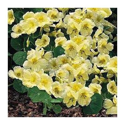 Outsidepride Nasturtium Yeti - 200 Seeds : Flowering Plants : Garden & Outdoor
