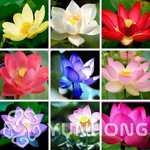 - Portal Cool Lotus Flower Seeds 10 Pcs/Pack Aquatic Plants Bowl Lotus Perennial Plants Home