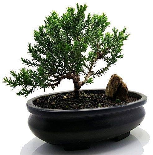 Zen Bonsai Tree Juniper Live Flowering House Plant Indoor Garden New Xmas Gift