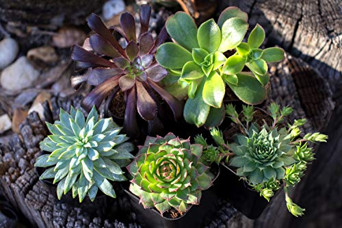 Succulent Air Plant Combo Pack | 5 Succulents and 5 Airplants | Real Live Home Decor House Gift | Indoor Mix Pack | Rooted in Pots by Plants for Pets by Plants for Pets (Image #5)
