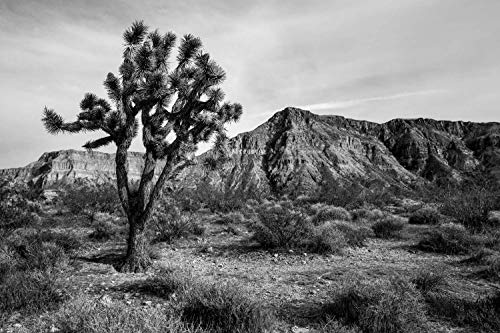 Landscape Photography Wall Art Print - Black and White Picture of Joshua Tree and Desert Scenery in Western Arizona Fine Art Decor 5x7 to 40x60