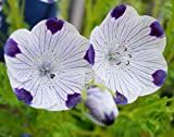 Non GMO Five-Spot (Nemophila maculata) Flower Seeds (1 oz)