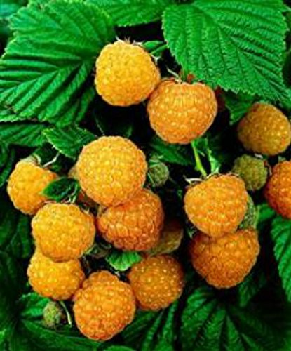 - Raspberry Plant - Fall Gold - Organic - ORDER NOW for FALL PLANTING !!!