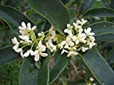 Sweet Olive (Osmanthus Fragrans) Live plants
