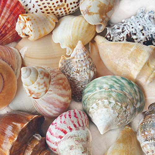 "Tumbler Home Polished Sea Shells – Sizes 2.25"" to 4"" - Approx. 15 Beach Shells in Mixed Colors – 1.75 Lb Nautical Beach Décor"
