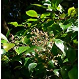 10 Syzygium Smithii Lilly Pilly Monkey Apple Acmena Eugenia Seeds #DS04