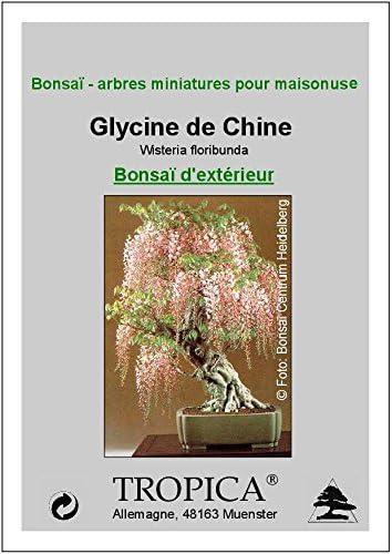 TROPICA - Glycine de Chine (Wisteria floribunda) - 4 graines- Bonsai