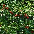 Huckleberry Bush Red Seeds (Vaccinium parvifolium) 25+Seeds