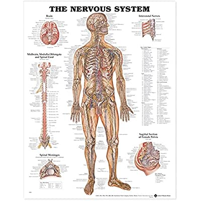 The Nervous System Anatomical Chart: Anatomical Chart Company: Office Products